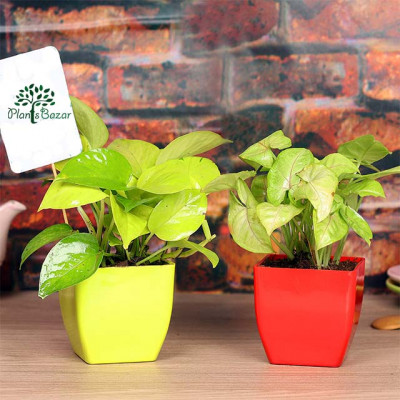 Combo of Money Plant and Syngonium