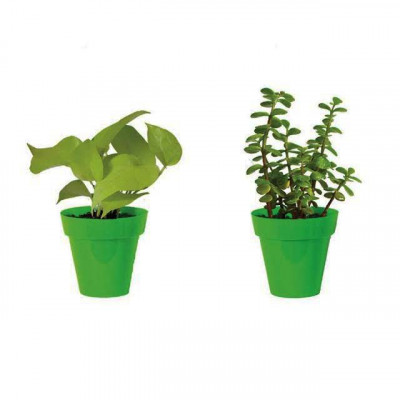 Combo Of Money Plant And Jade Plant