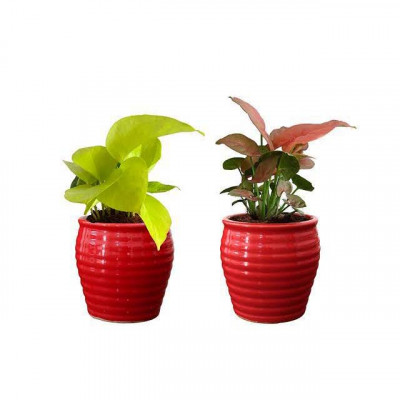 Combo of Money Plant and Syngonium Pink with Ceremic Planter