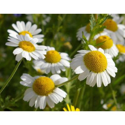 Babuna White Flowering Seeds