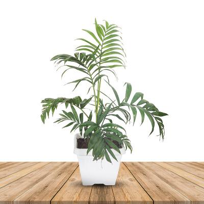 Bamboo Palm - Chamaedorea Seifrizii