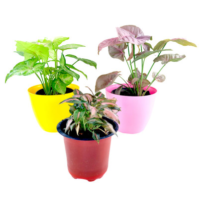 Beautiful Syngonium Plants Combo (Pack of 3)