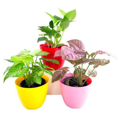 Best 3 Plants to Kill Indoor Polution (Syngonium & Money Plant)