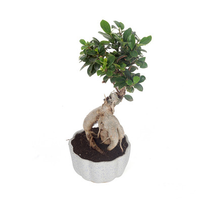 Blue Dotted Ceremic Planter with Ficus Plant