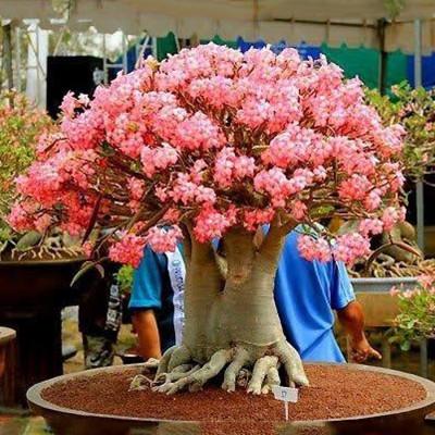Bonshi Arabicam Adenum plant