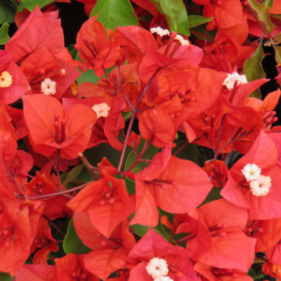 Bougainville Red Color flower plants