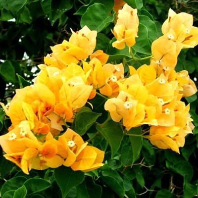 Bougainville Yellow Color flower plants