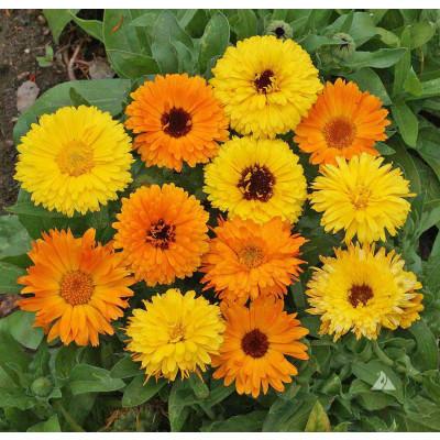 Calendula Doppio Mixed Flowering Seeds