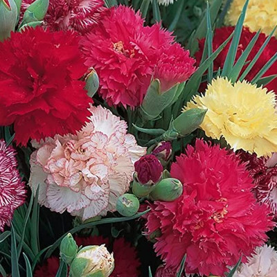 Carnation mixed Flowering Seeds