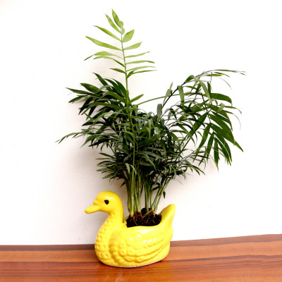 Chamaedorea Palm Plant
