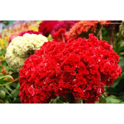 Cockscomb Red Flowering Seeds
