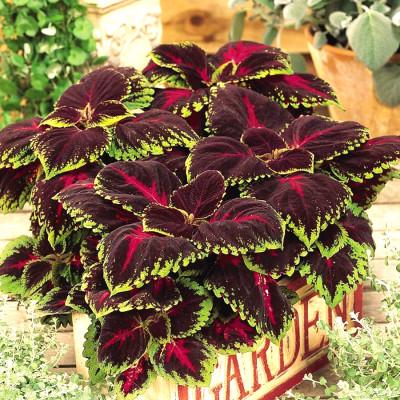 Coleus(maroon green) plants