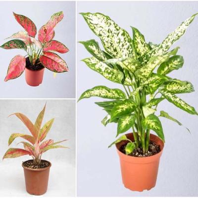 Combo Of  Aglaonema Plants