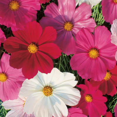 Cosmos Mixed Flowering Seeds