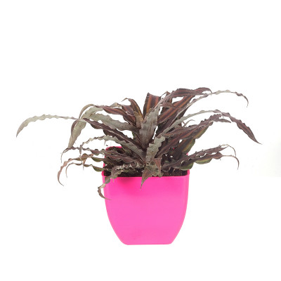 Cryptanthus Earth Star (brown color)