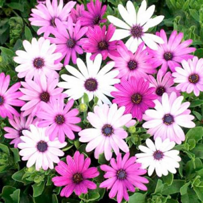 Daisy Mixed Flowering Seeds