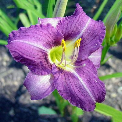 Daylily Purple Color Flower Bulbs