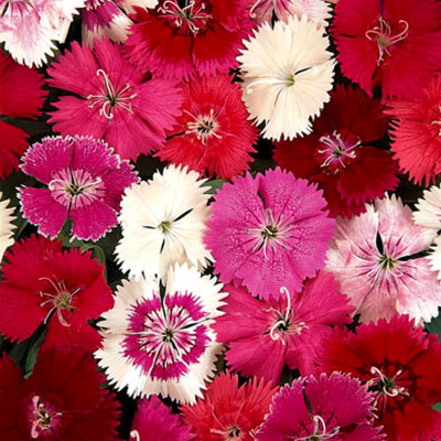 Dianthus Mixed Flowering Seeds