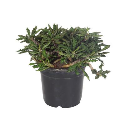Euphorbia decaryii