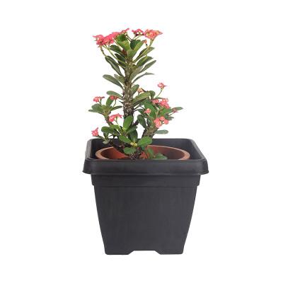 Euphorbia Milli Dwarf