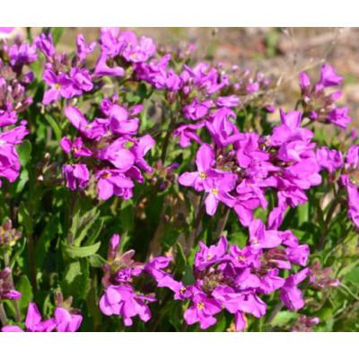 F1 Nana Vinca Black Purple Hybrid Flowering Seeds