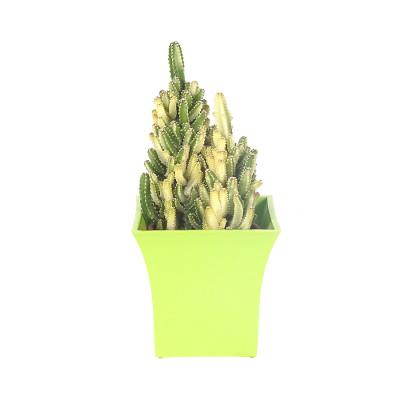 Fairy Castle variegated Cactus/Acanthocereus