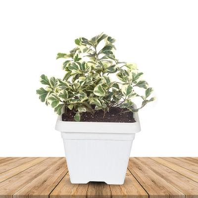 Ficus Triangularis Variegated