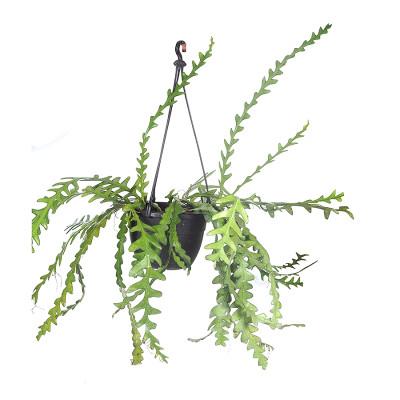 Fishbone Cactus/Selenicereus anthonyanus