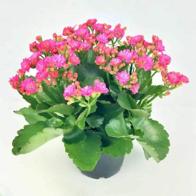 Florist Kalanchoe Pink Color Flower Plant