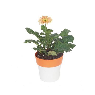 Gerbera - Perennial Flower