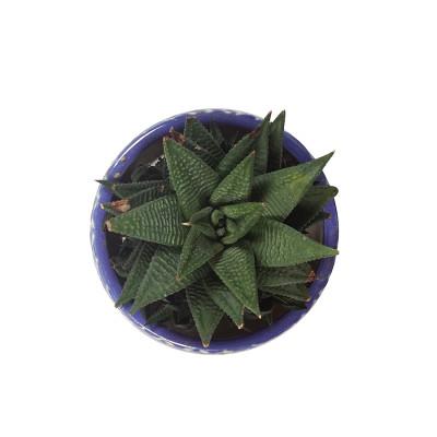 Haworthia Limifolia Plant with Ceramic Planter