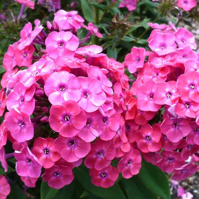 Hybrid Hydrangea Pink Color Flower Plant