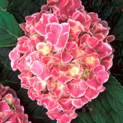 Hybrid Hydrangea Pink Shade Flower Plant