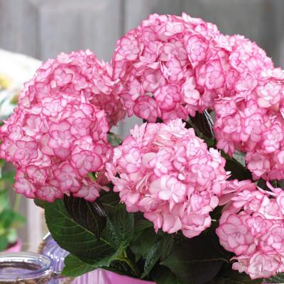 Hybrid Hydrangea White & Pink Shade Flower Plant