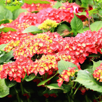 Hybrid Hydrangea White & Red Shade Flower Plant