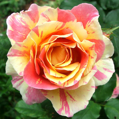 Hybrid Rose Pink & Yellow Shaded Flower Plant