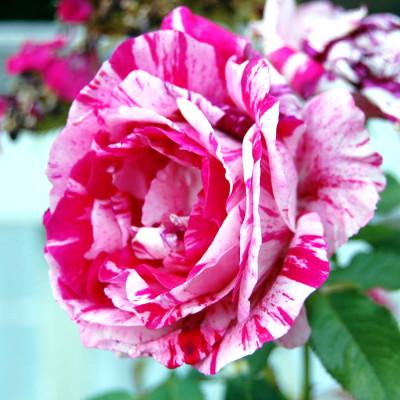 Hybrid Rose Purple & White Shaded Flower Plant