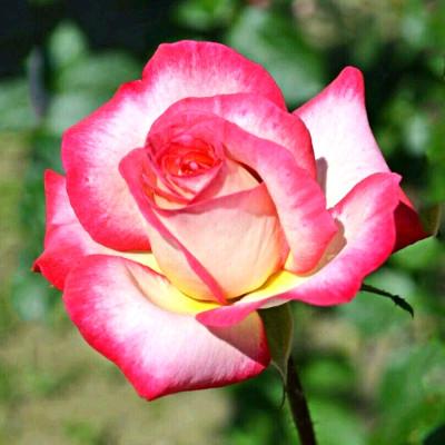 Hybrid Rose Red & White Shaded Flower Plant