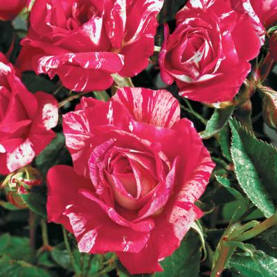 Hybrid Rose Orange & Yellow Shaded Flower Plant