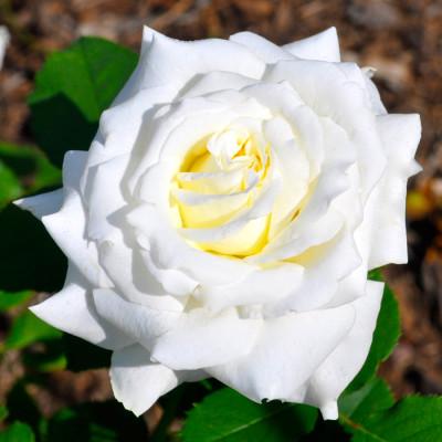 Hybrid Rose White Shaded Flower Plant