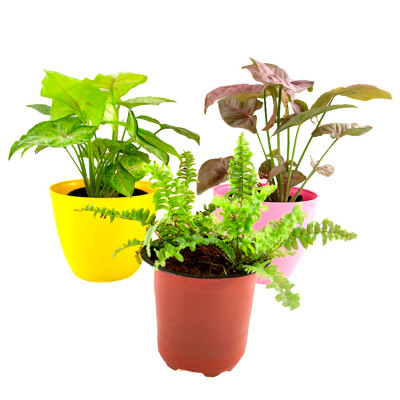 Indoor Air Purifier Plants Pack For Healthy Home-Office