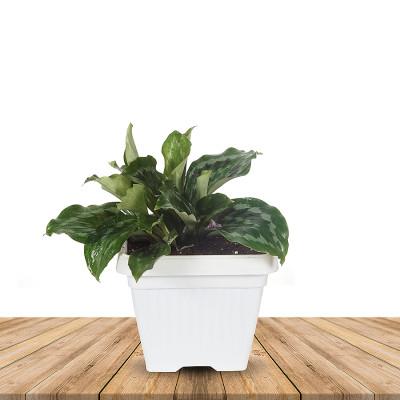 Kaempferia Elegans Flower Plant