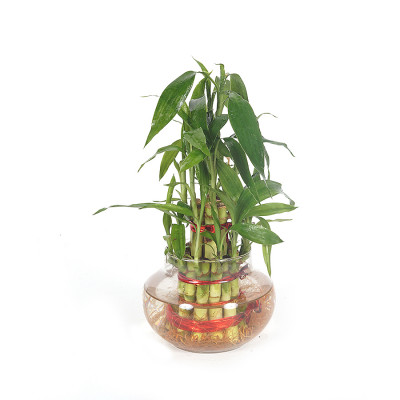 Lucky Bamboo - 2 Layer