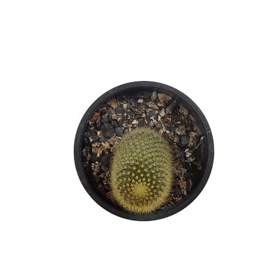 Mammillaria spinosissima Plant