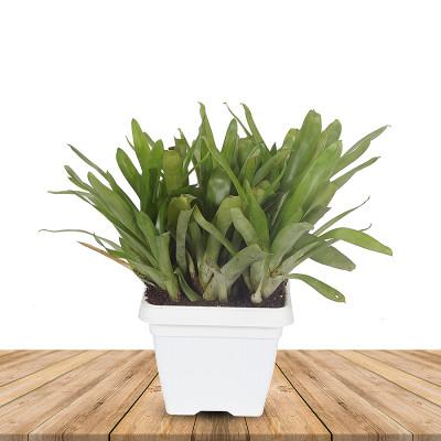 Matchstick Bromeliad Flower Plant