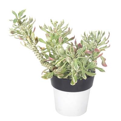 Monadenium stapelioides variegated