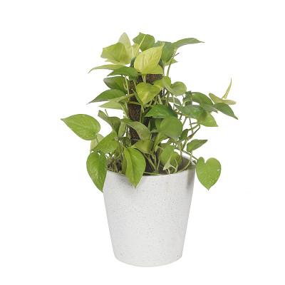 Money Plant - Neon pothos