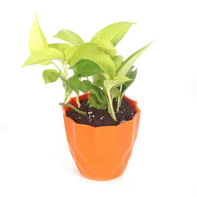 Moneyplant - Neon pothos