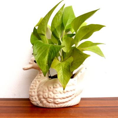 Moneyplant - Neon pothos Plant