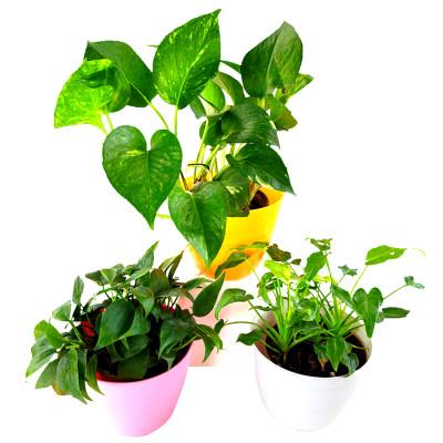 Mood Booster / De-stress Table Top / Office Desk Plants